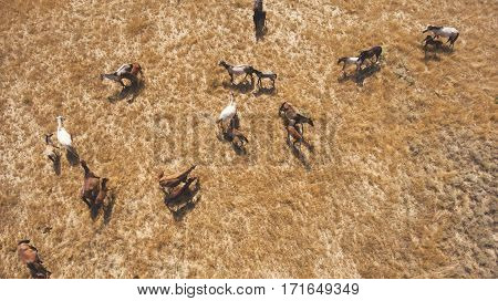 Top view aerial photo from drone of a meadow with beautiful animals in sunny summer day in Asia. Herd of thoroughbred horses are grazing in Kazakhstan countryside in spring season. Concept environment