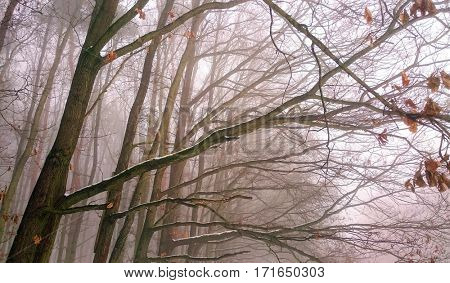 A misty forest. Natural background from wilderness. Young oaks in wetlands.