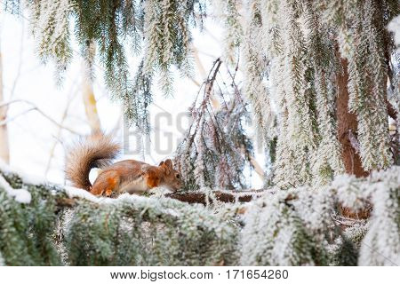 Eurasian red squirrel on snowy tree at winter