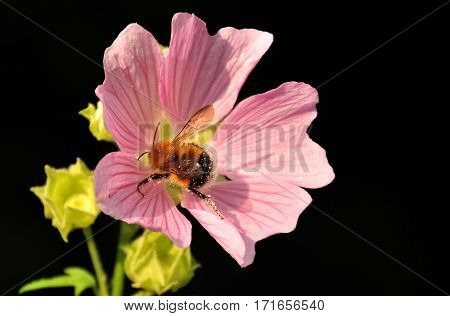Bumblebee Splotchy With Pollen On Pink Wildflower Isolated On Black Background.