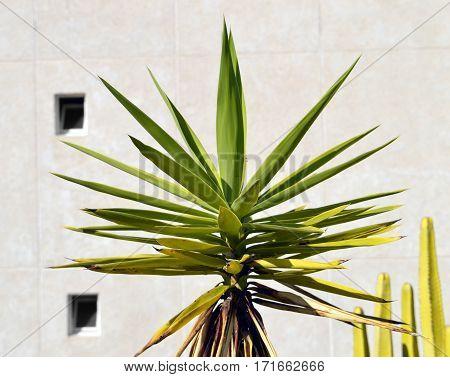 Spanish bayonet tree Latin name Yucca aloifolia flowers