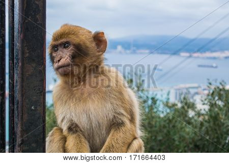 A young barbery ape sitting on a wall at Gibraltar nature reserve against scenic seascape on a cloudy day.