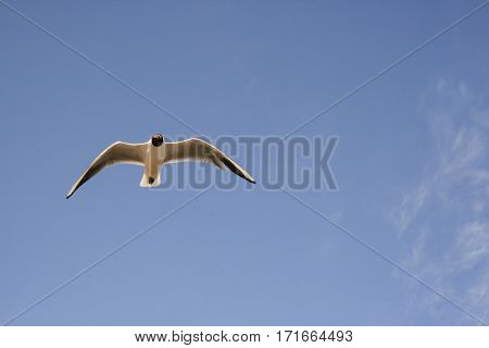 Seagull flying in the blue sky, front view