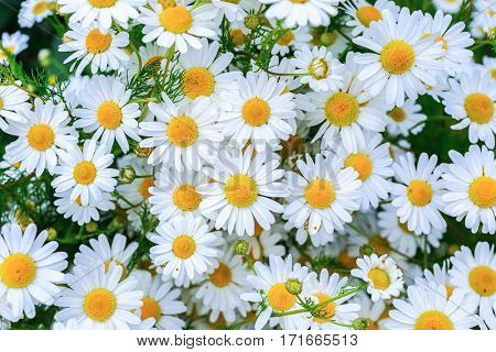 Masses of daisies in the home garden.