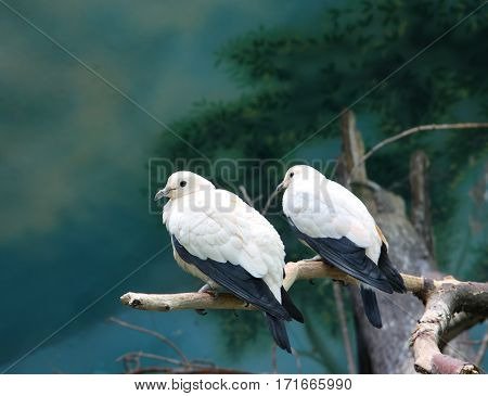 Two white pigeons sit on a branch