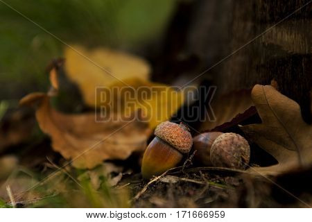 Oak seed with autumn leaves in october