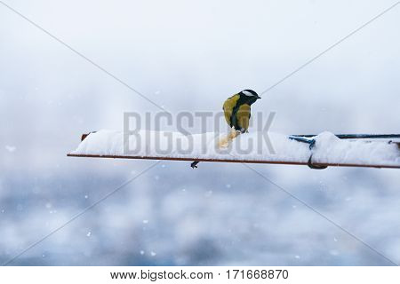 Bird Titmouse Eating Bread In The Winter And The Snow Is Fluffy Beautiful