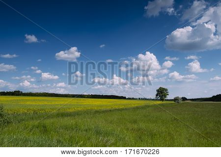 Beautiful rape field with blue sky and clouds