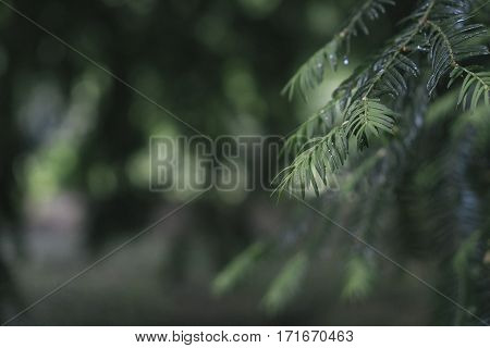 Pine tree closeup. Evergreen nature forest background