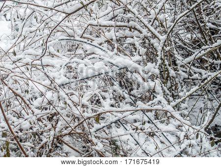 Snow clinging to a bush resembles cotton.