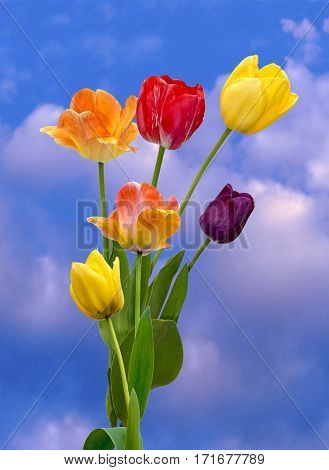 View of multi coloured tulips on a cloudy background