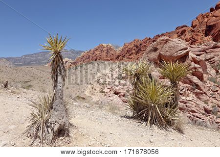 Red Rock Canyon landscape and plants Nevada.