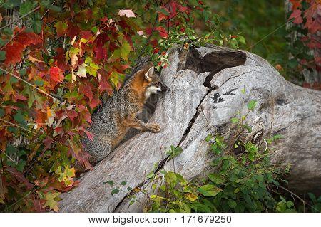Grey Fox (Urocyon cinereoargenteus) Climbs Up Log - captive animal