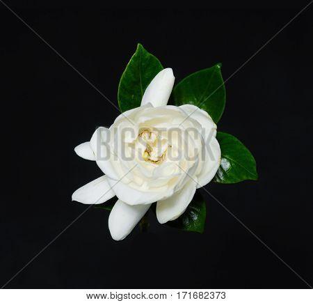 gardenia flower on black background