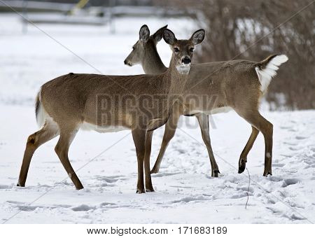 Beautiful Isolated Background With Two Wild Deer On The Snowy Field
