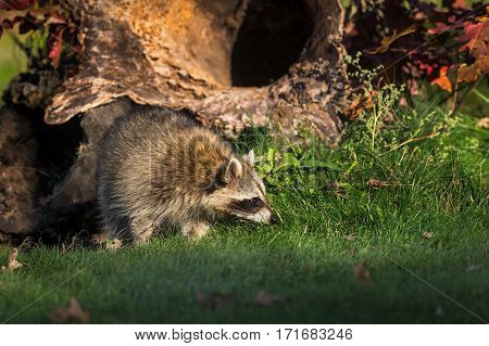 Raccoon (Procyon lotor) Sniffs in Front of Log - captive animal