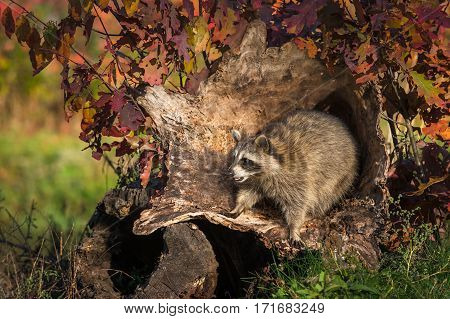 Raccoon (Procyon lotor) Pounces Forward in Log - captive animal