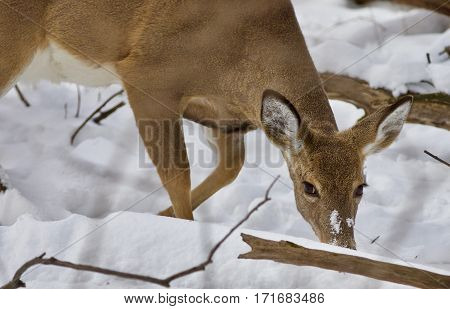 Beautiful Isolated Image With A Wild Deer In The Snowy Forest