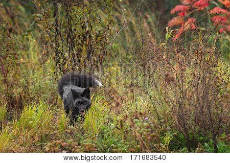 Silver Fox (Vulpes vulpes) Walks Forward - captive animal