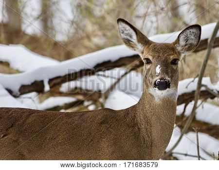 Beautiful Image Of A Wild Deer In The Snowy Forest