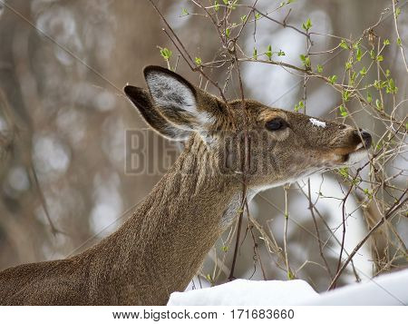 Beautiful Isolated Image With A Wild Deer Eating Leaves In The Snowy Forest