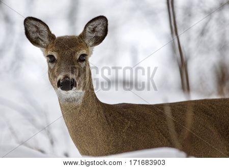 Beautiful Image Of A Wild Deer Looking To The Camera