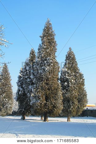 tall cedar trees partly covered with snow on sunny winter day