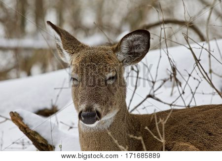 Beautiful Portrait Of A Sleepy Funny Wild Deer In The Snowy Forest