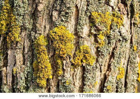 Old tree bark covered with lichen macro photograph for closeup texture