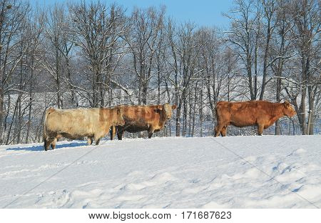 several beige and brown cows in the snow on sunny winter day