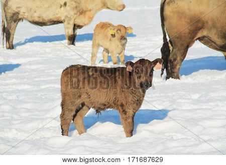 cute small fluffy calf in winter and some other cows at the background