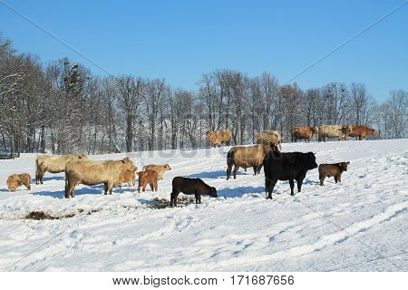 flock of cows and calves in the winter landscape