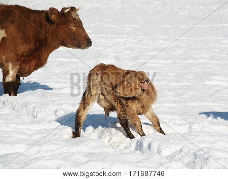 cute young calf cleaning itself in winter