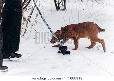 Cute Little Brown Puppy With Leash Walking In Snowy Cold Winter Park. Adoption Concept. Save Animals