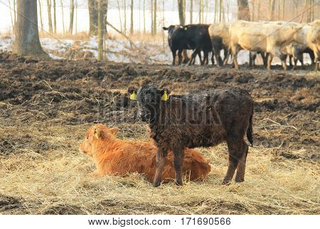 ginger calf lying in the hey and dark brown one standing next to it and group of cows at the background