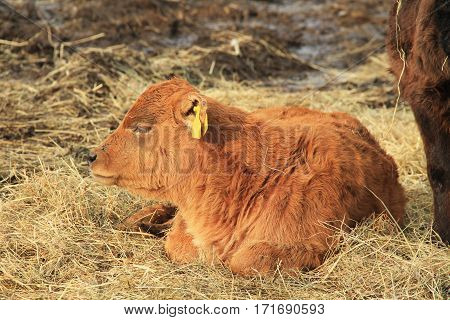 cute small ginger calf sleeping on the hey