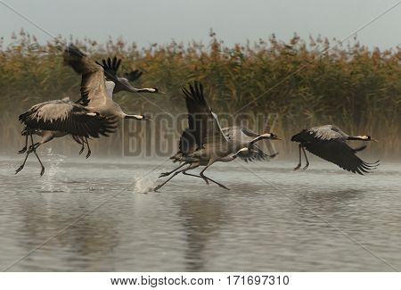 A group of six cranes (Grus grus) running through the water and kicking to fly Autumn foggy morning in the Bory Tucholskie National Park in Poland