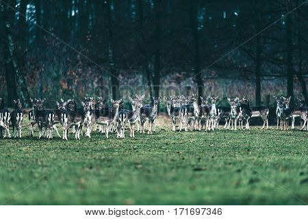 Large Group Of Fallow Deer Doe Standing In A Row.