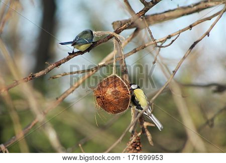 great and blue tit on the small birdfeeder made of coconut