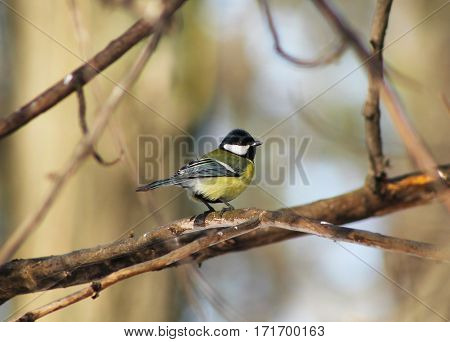 cute colorful great tit (Parus major) sitting on the twig