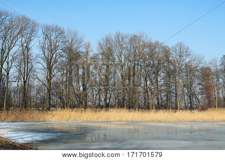 frozen pond, yellow sear reed and bare trees on its bank in Poodri, Czech Republic