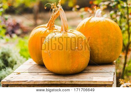 Pumpkin - a useful and healthy food. And also holidays symbol of Halloween party Thanksgiving Day