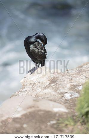 Black Cormorant Coastal Bird Perched On A Cliff Edge In La Jolla California