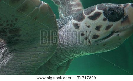 An Amphibious Sea Turtle Swimming Under Water
