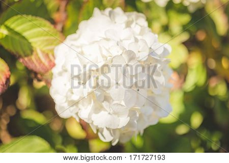 White flower bush found in the Pacific Northwest of the United States. Summer day in bright sunlight. Newport Oregon USA.