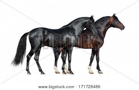 Horses isolated on white. Two dark horses standing together on white background.