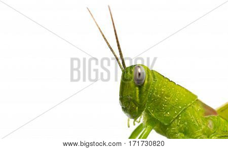 Isolated green grasshopper insect bug flu natute