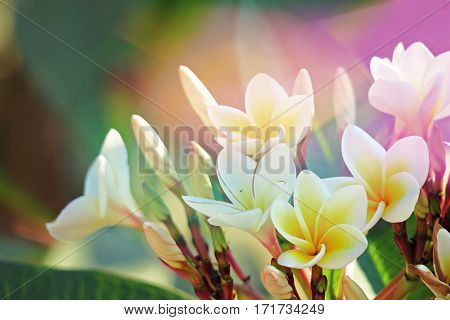 Frangipani plumeria flowers field abstract background. Beautiful plumeria flowers and green leaves background