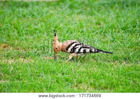 Striped Hoopoe Walks On A Green Meadow. Egypt, Sharm El Sheikh.