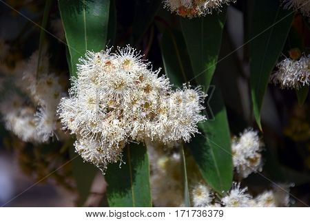 Cluster of white gumtree (Angophora hispida) flowers in East Gippsland, Victoria, Australia. Close up eucalyptus flower.